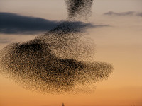 Starling Roost in Swindon